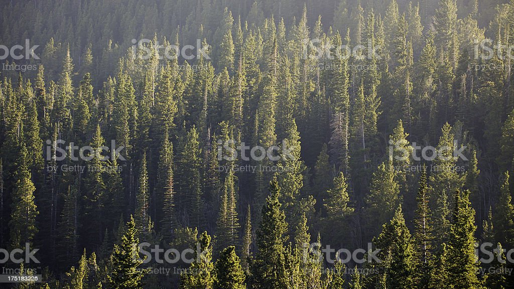 Green Pine Forest Background stock photo