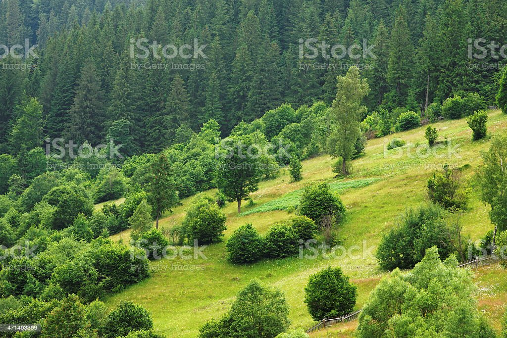 green pine forest royalty-free stock photo