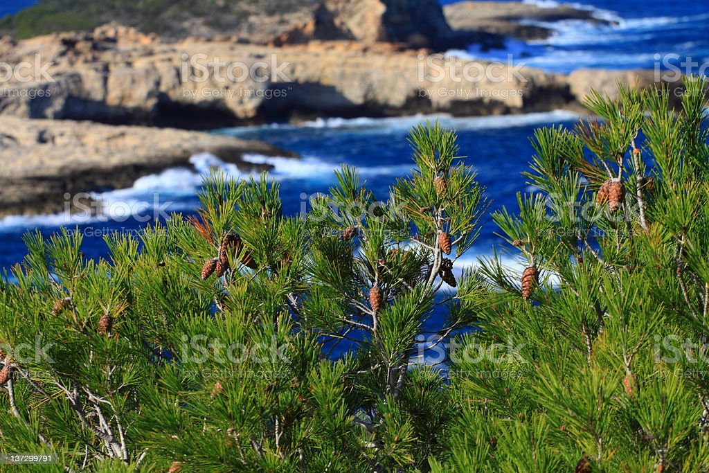 Green pine in Ibiza over blue sea stock photo