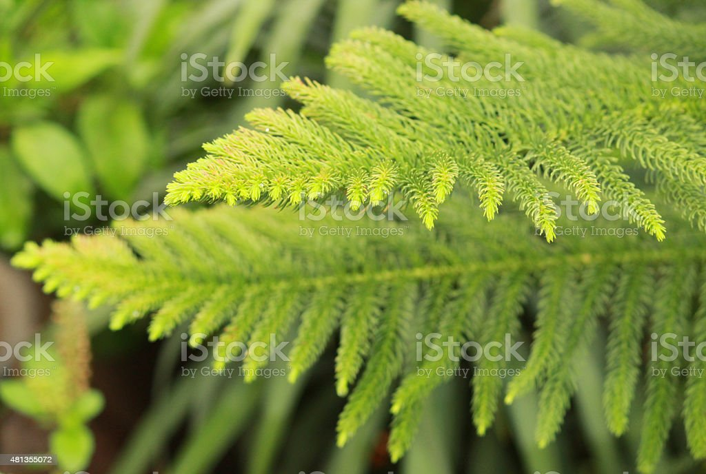 Green Pine leaves - one over other stock photo