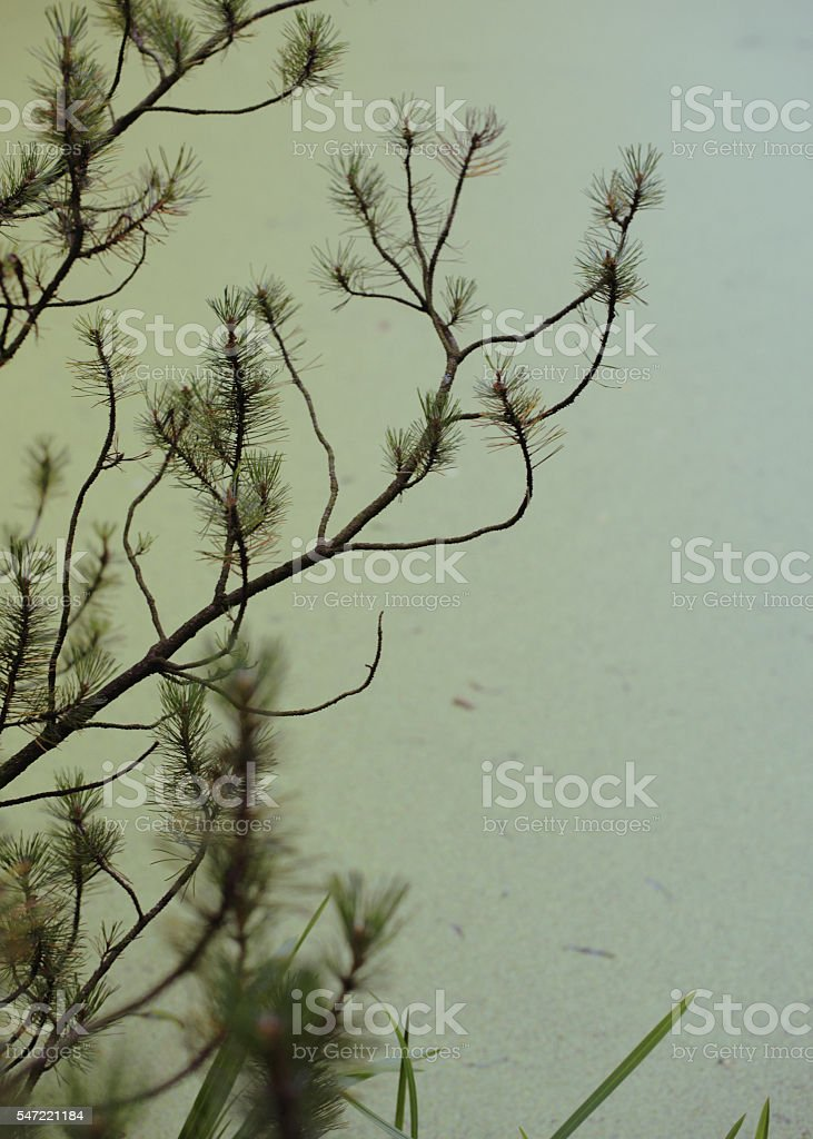 Green pine tree branches against the rippled water surface, close stock photo