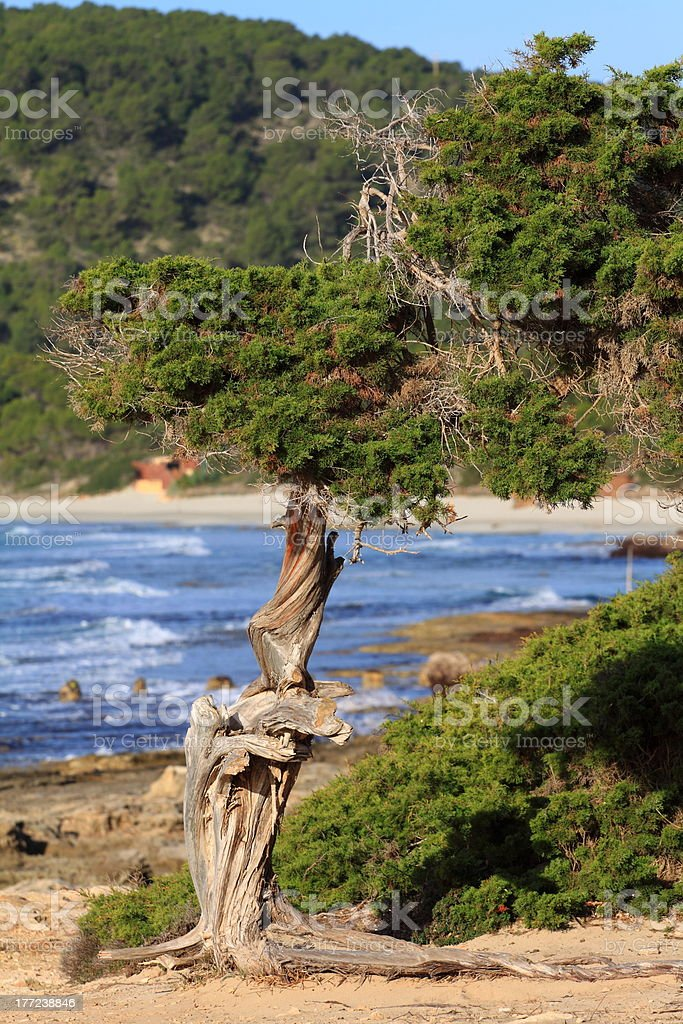 Green pine tree stock photo