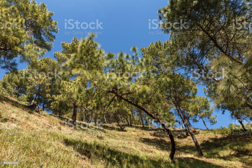 Green pines on the mountainside, Dakshinkali Nepal stock photo