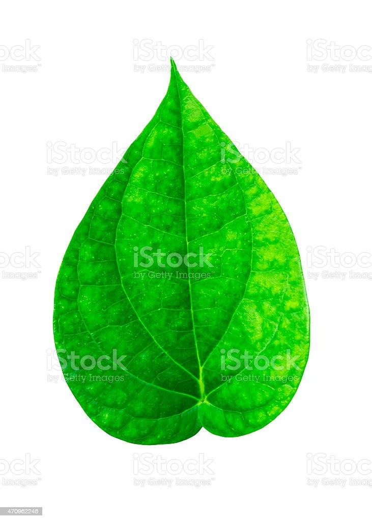 Green piper betle leaf stock photo