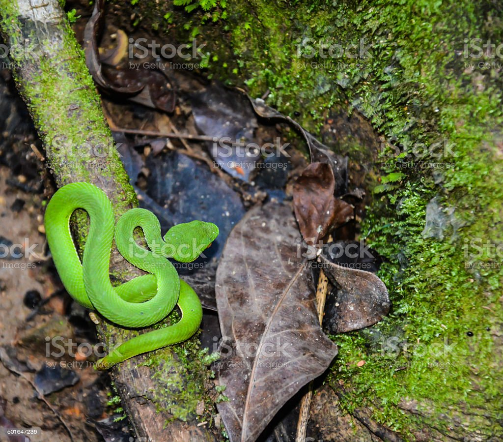 Green pit viper in ther forest in Thailand royalty-free stock photo