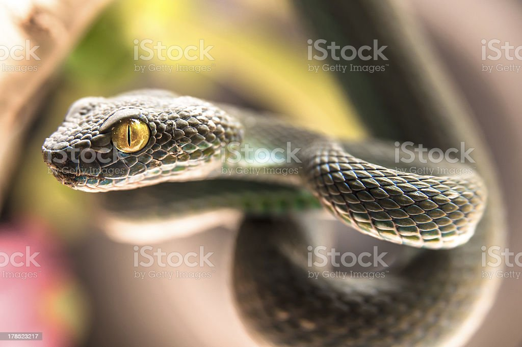 Green pit viper royalty-free stock photo