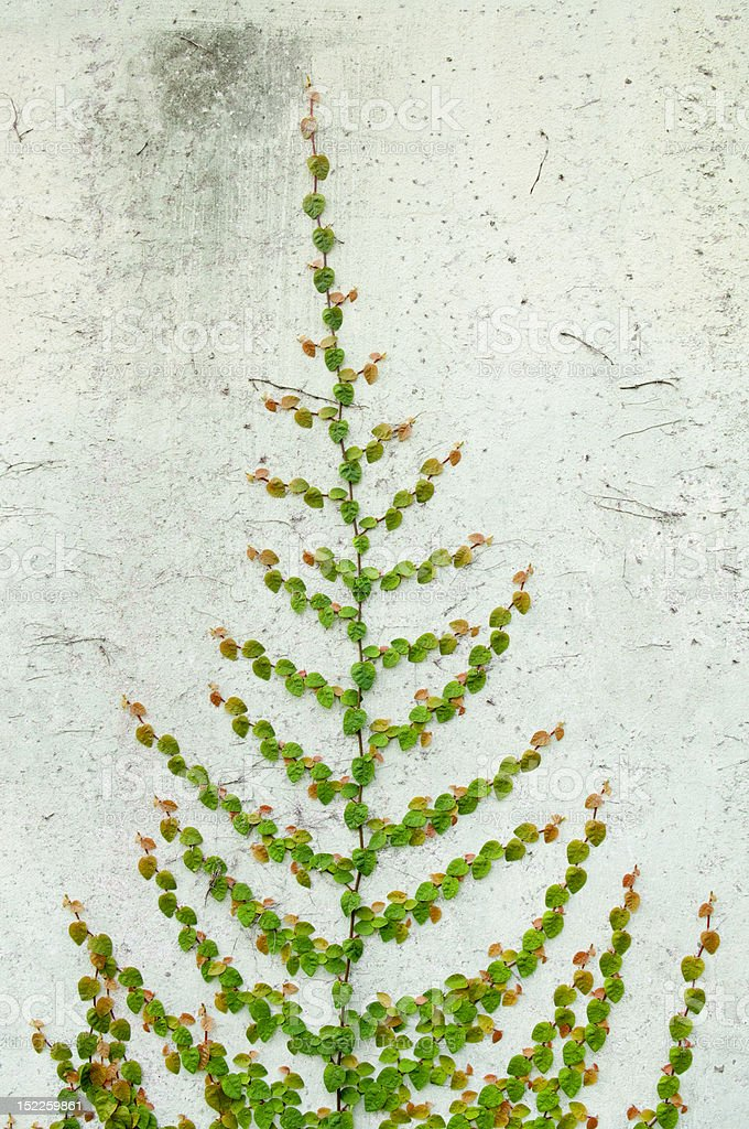 Green plant farming on old concrete wall royalty-free stock photo
