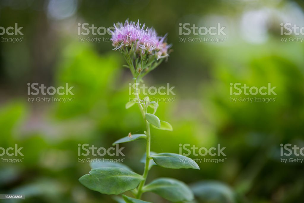 Green plant for herbal medicine stock photo