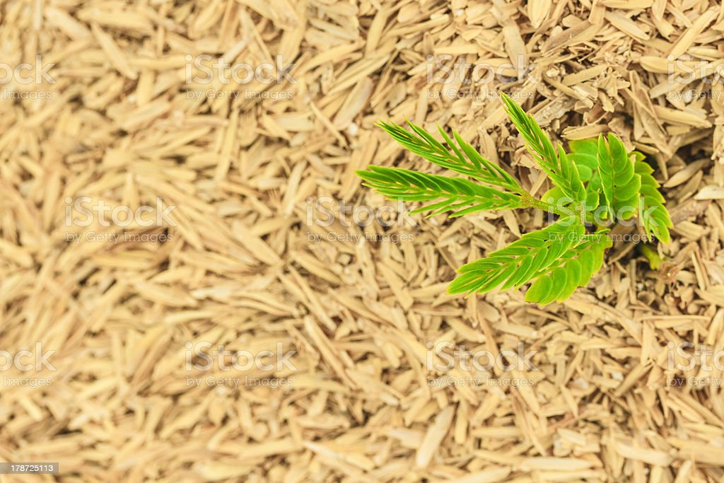 Green plant growing in dry hay royalty-free stock photo