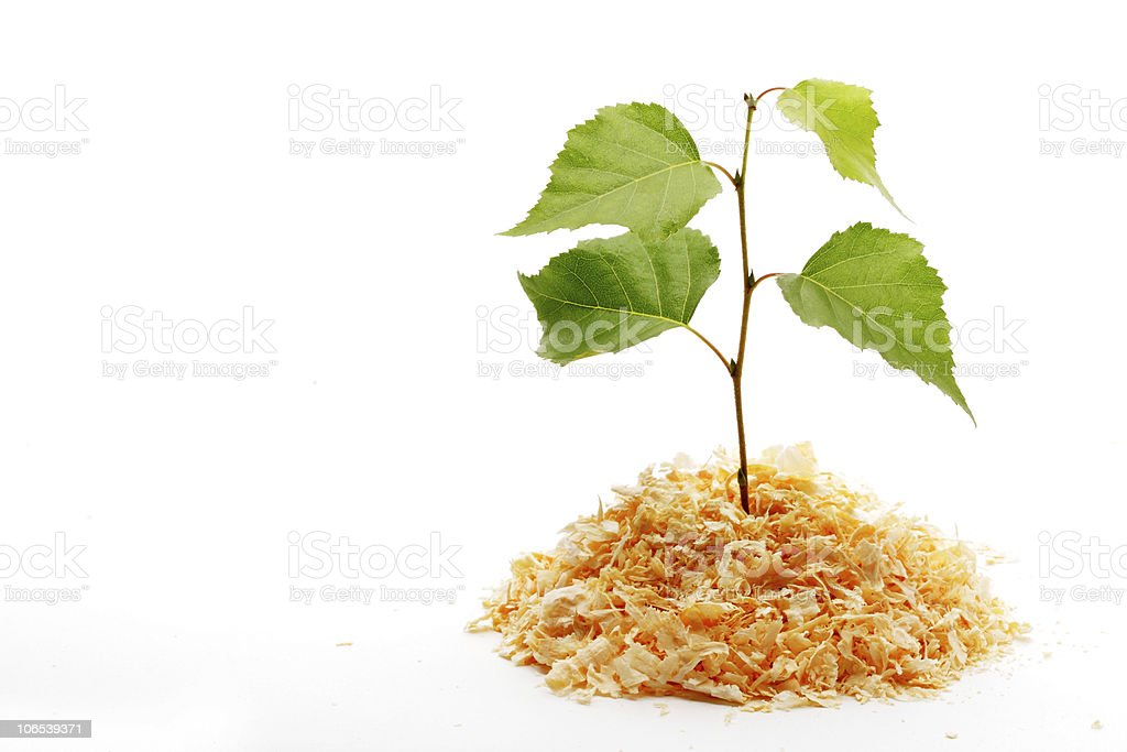 Green plant in the sawdust royalty-free stock photo