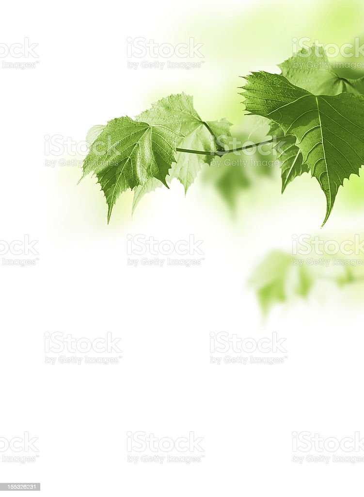 Green plant leaves on bright white lit background royalty-free stock photo