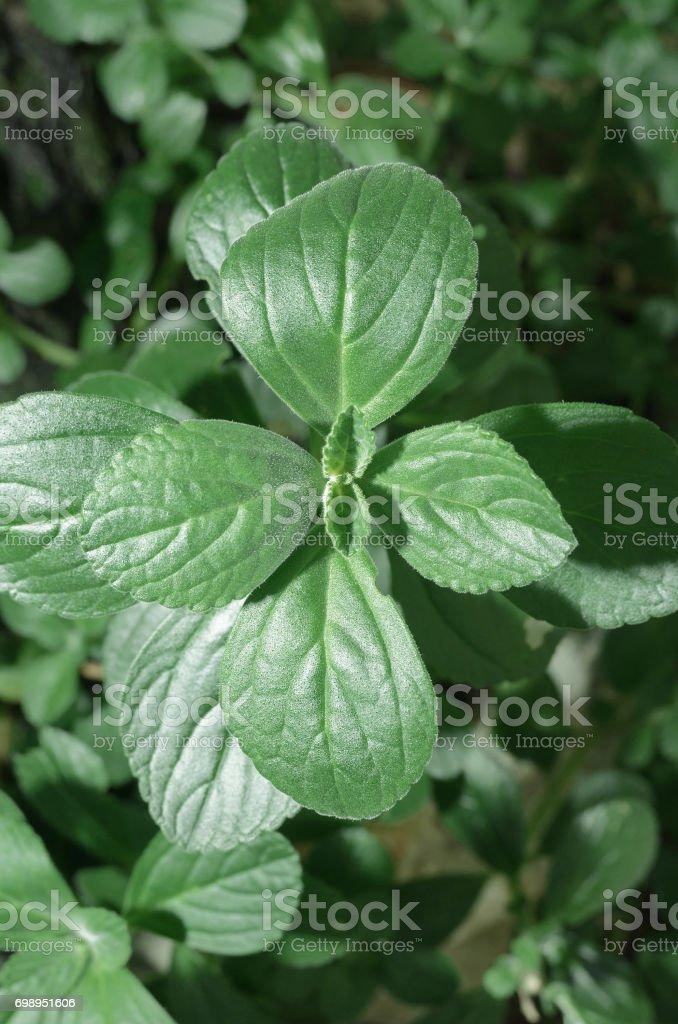 Green plant named Boldo da Terra stock photo