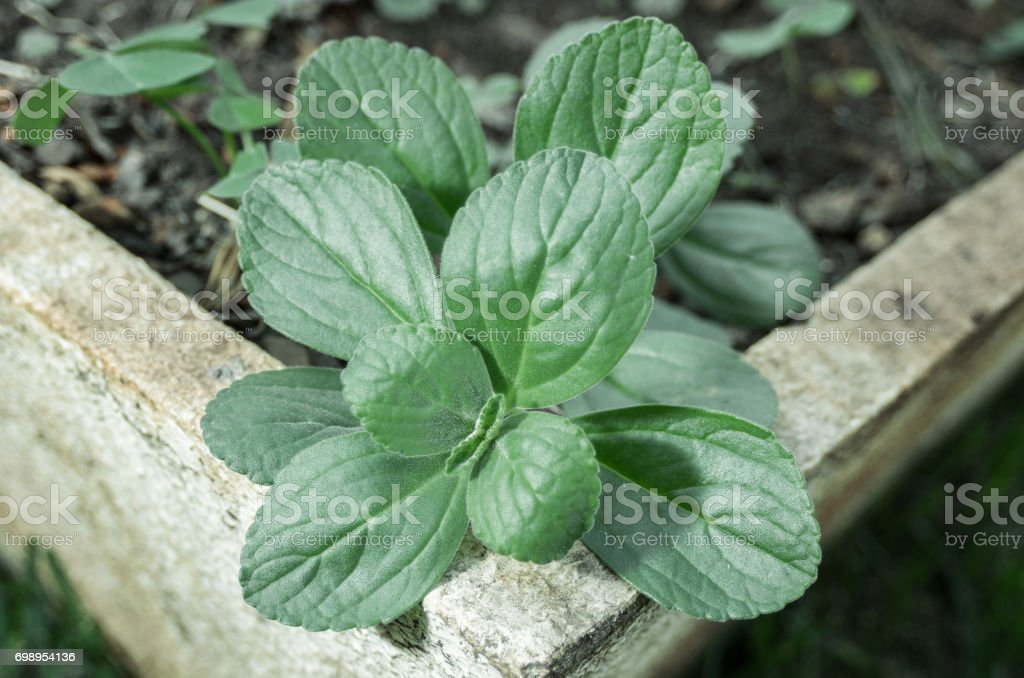 Green plant named Boldo da Terra planted in a vase stock photo