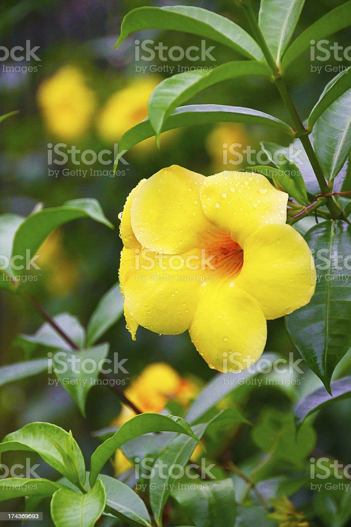 Green plant with yellow flowers royalty-free stock photo