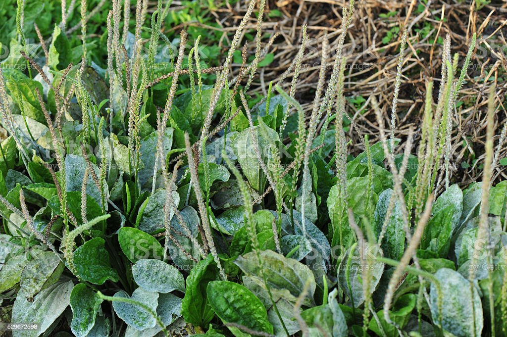 green plantain plants in growth in the nature stock photo