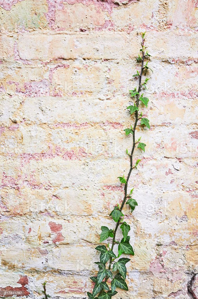 Green plants cover old red brick wall stock photo