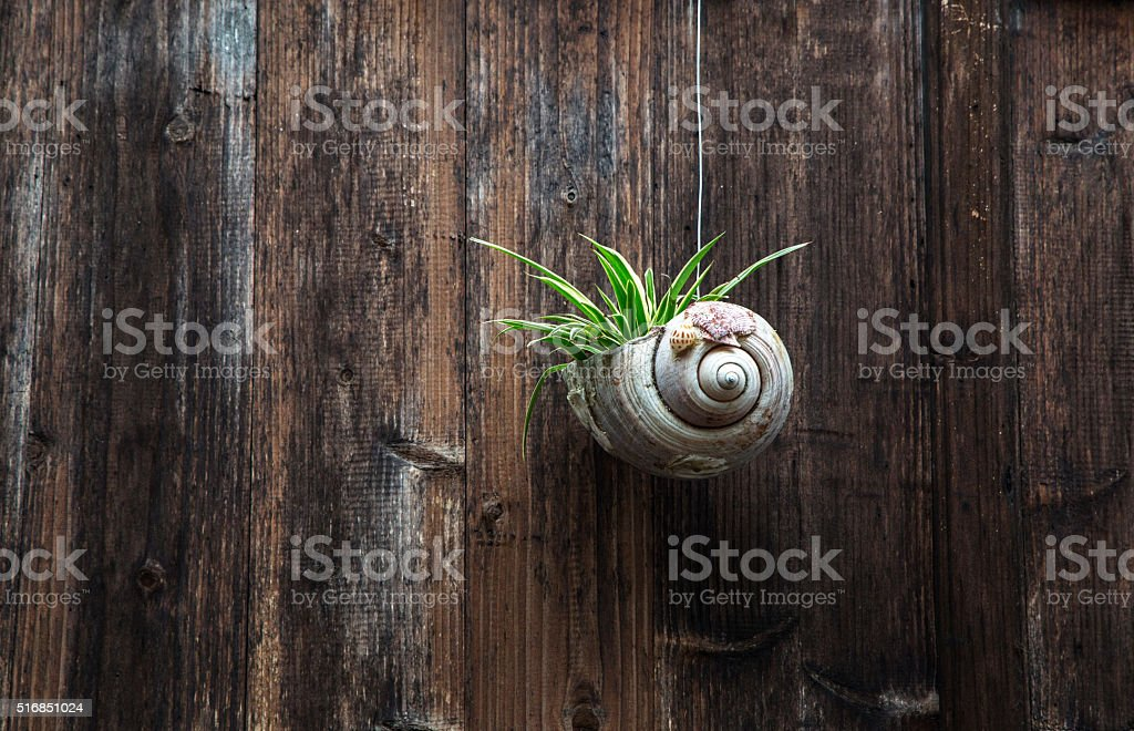 green plants in conch hanging on wooden door stock photo