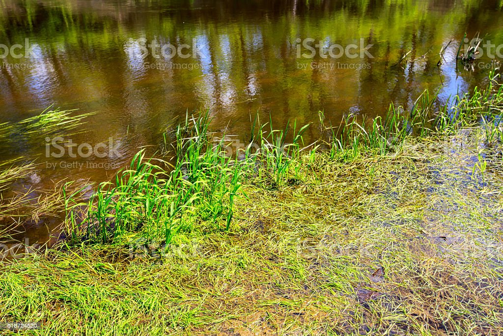 green plants in river water stock photo