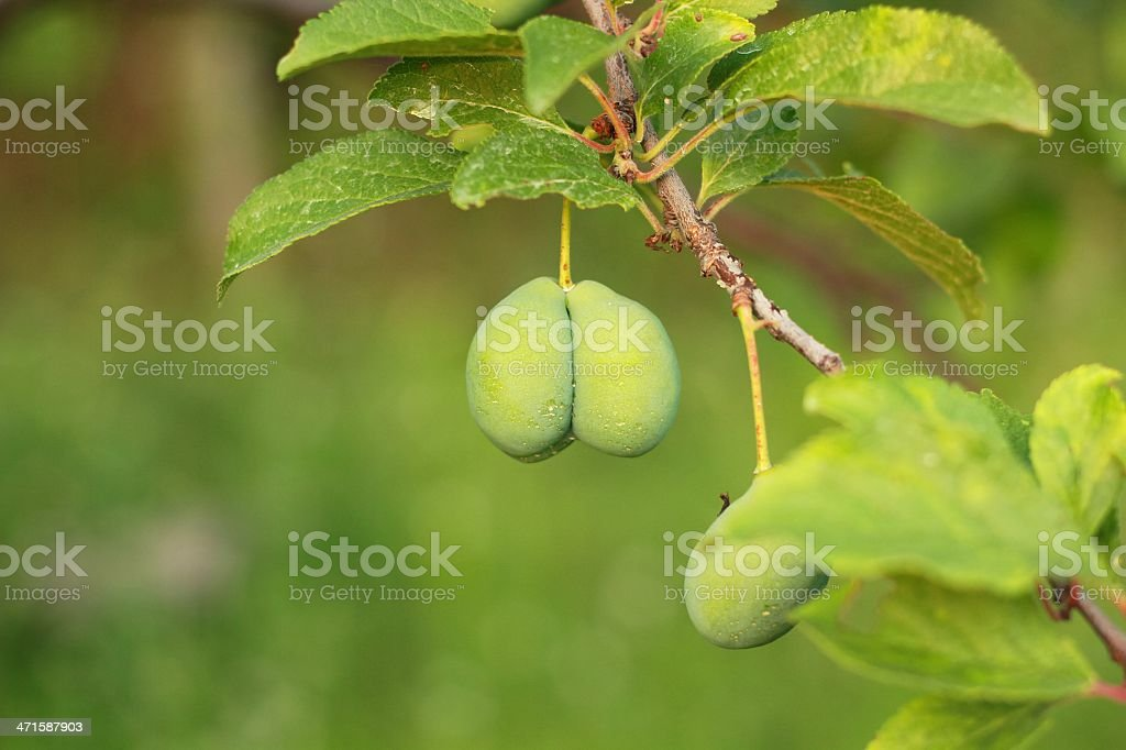 Green plum Lizenzfreies stock-foto