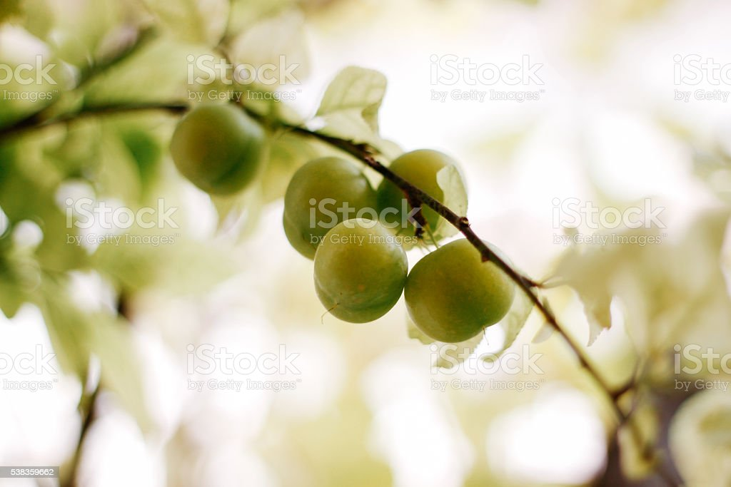 Green plums on the branch stock photo