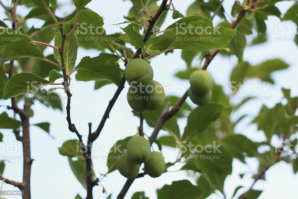 Green Pflaumen Lizenzfreies stock-foto