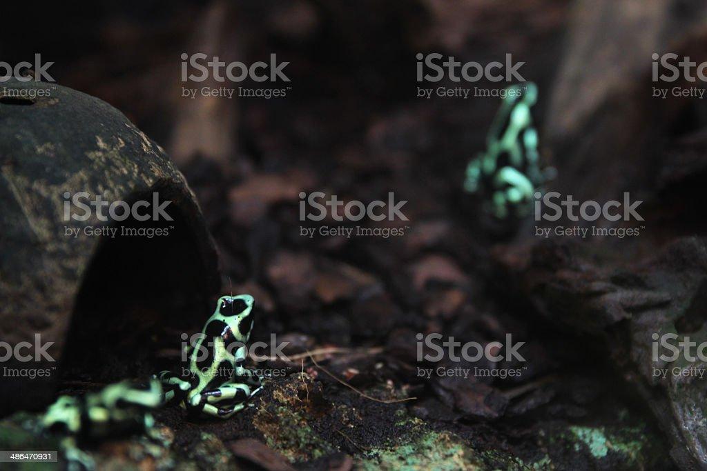 Green poison dart frog(Dendrobates azureus) stock photo