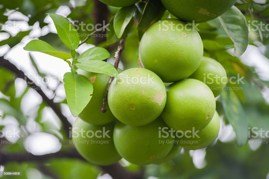 Green Pomelo fruit  on a tree stock photo