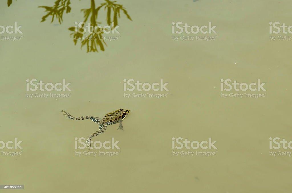 Green pond frog or rana amphibian species aquatic animal swimming stock photo