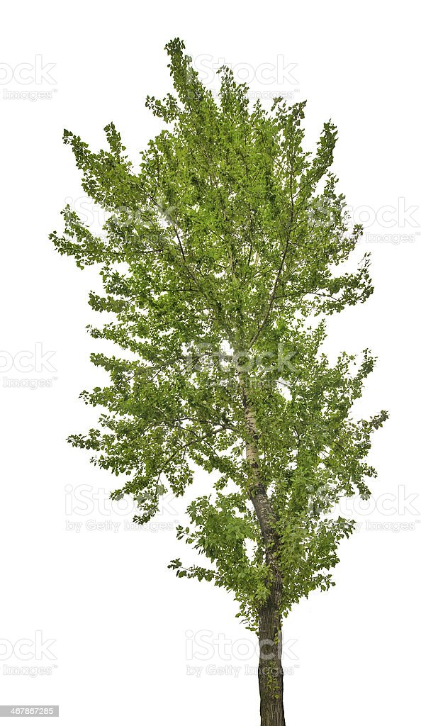 green poplar isolated on white stock photo