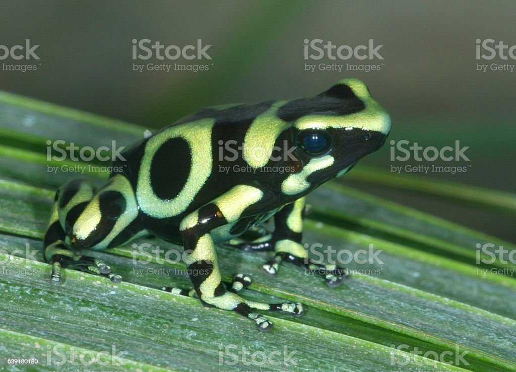 Green Posion Dart Frog stock photo