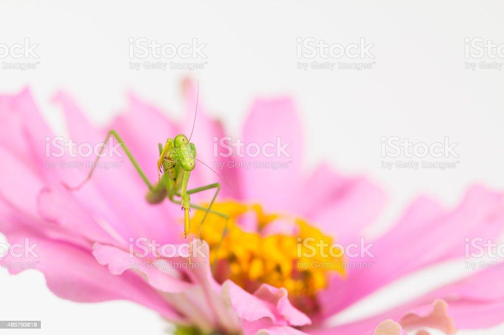 Green praying mantis cleans foreleg stock photo