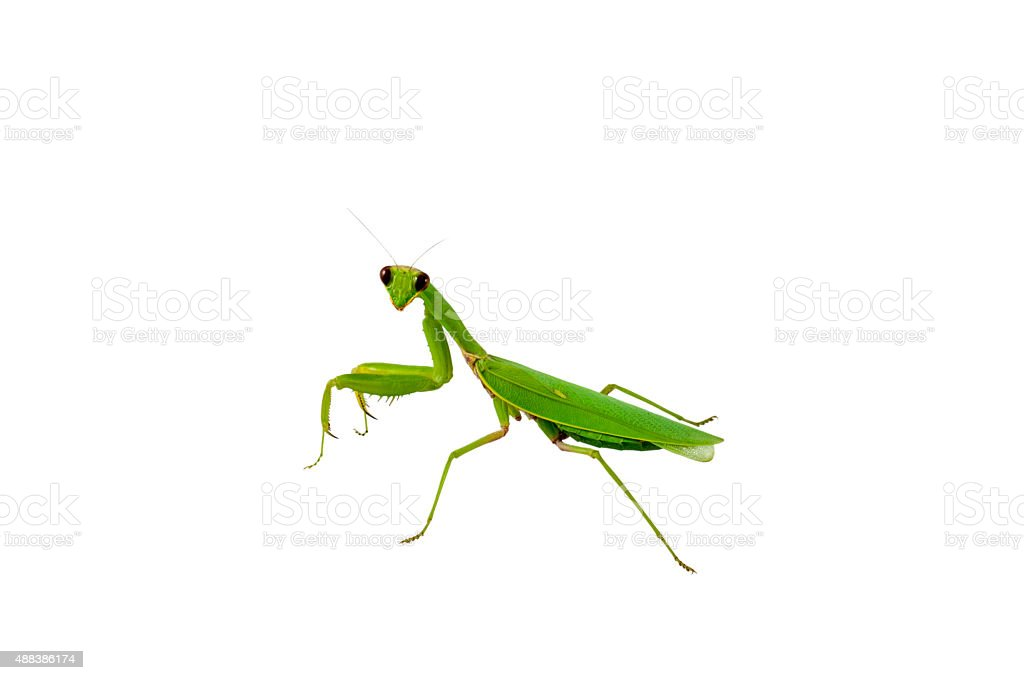 Green praying mantis insect stock photo