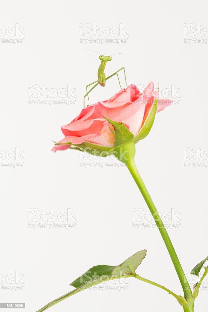 Green Praying mantis on flower stock photo