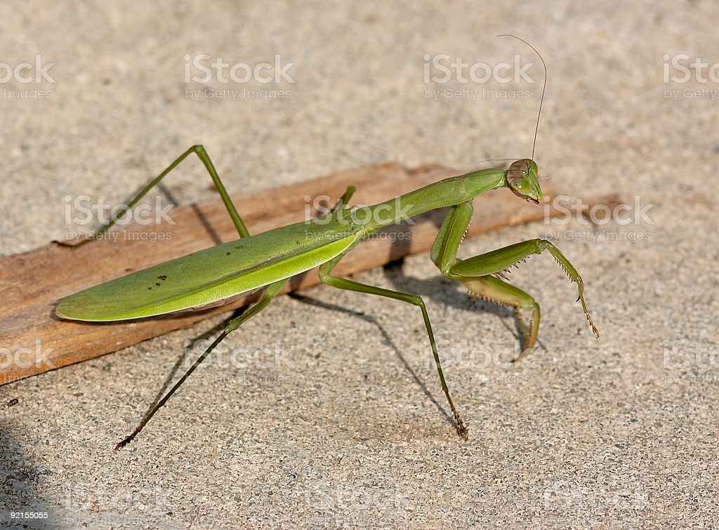 green praying mantis royalty-free stock photo
