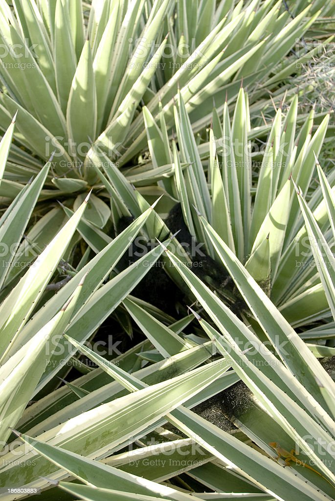 green prickly plant of the agave family with lizard stock photo