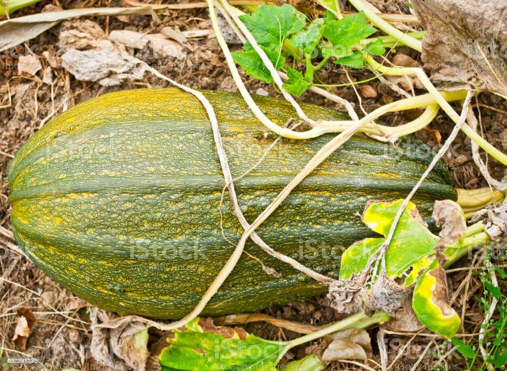 Green pumpkin in garden stock photo