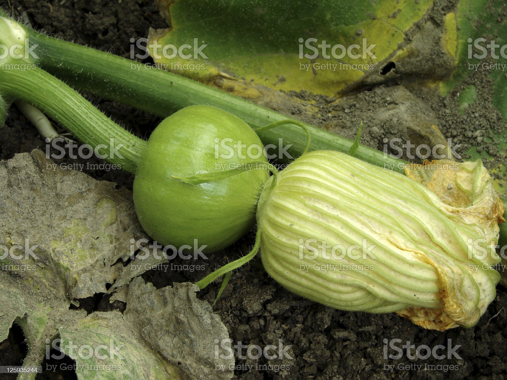 green pumpkin royalty-free stock photo