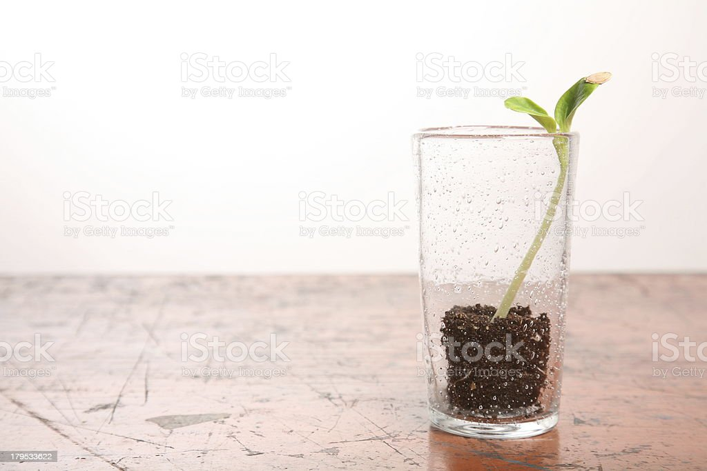 Green pumpkin sprout in the glass on wooden table horisontal royalty-free stock photo