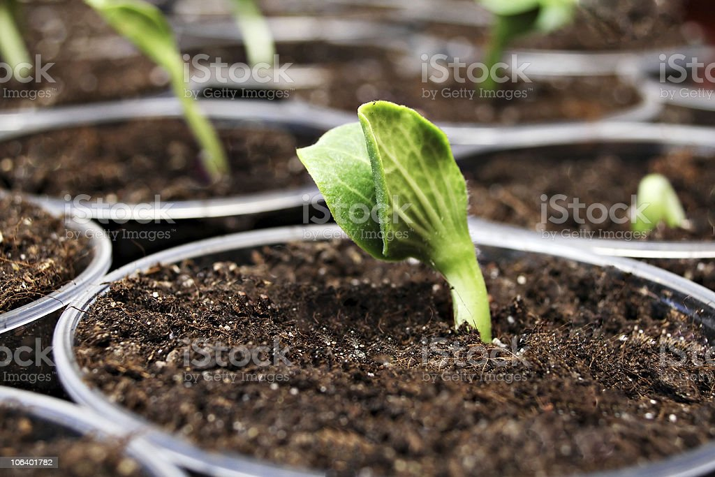 Green pumpkin sprout in the pot stock photo