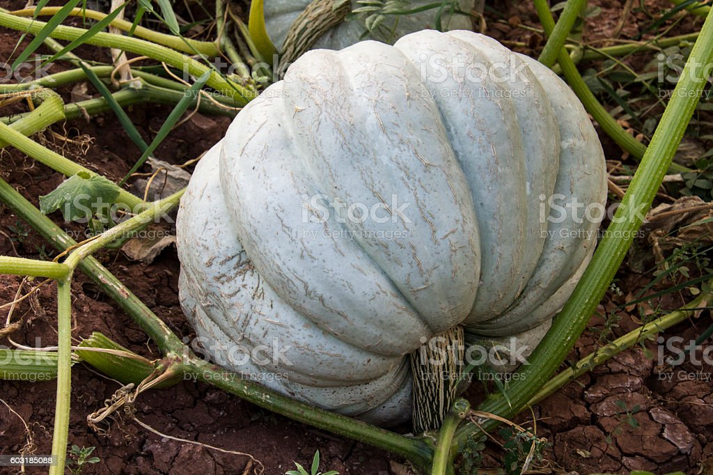 Green Pumpkin Turkey stock photo