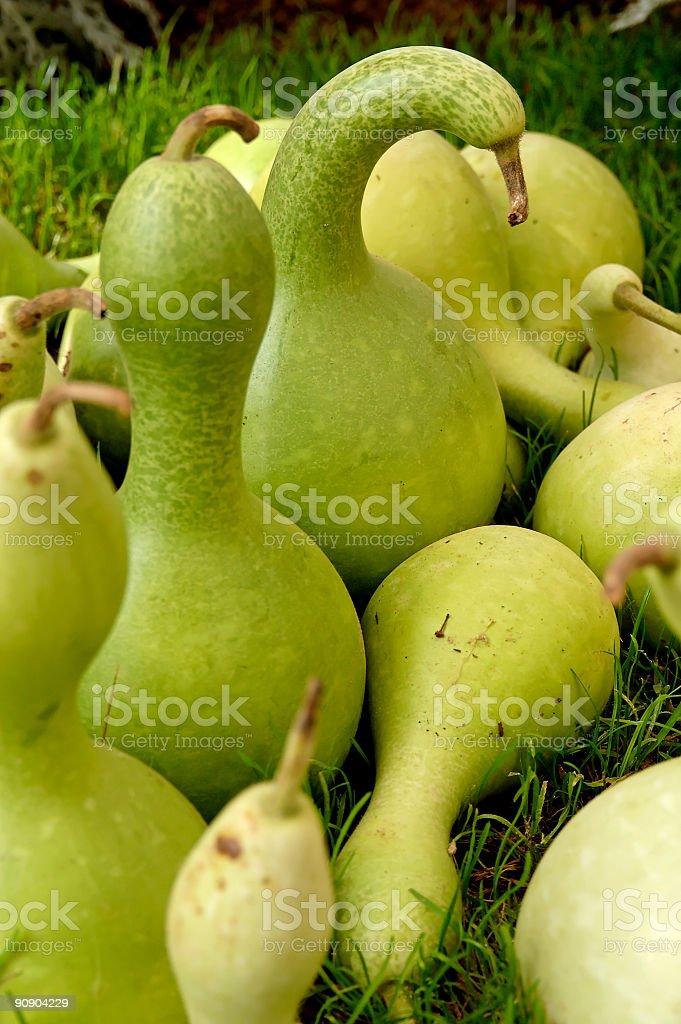 Green Pumpkins stock photo