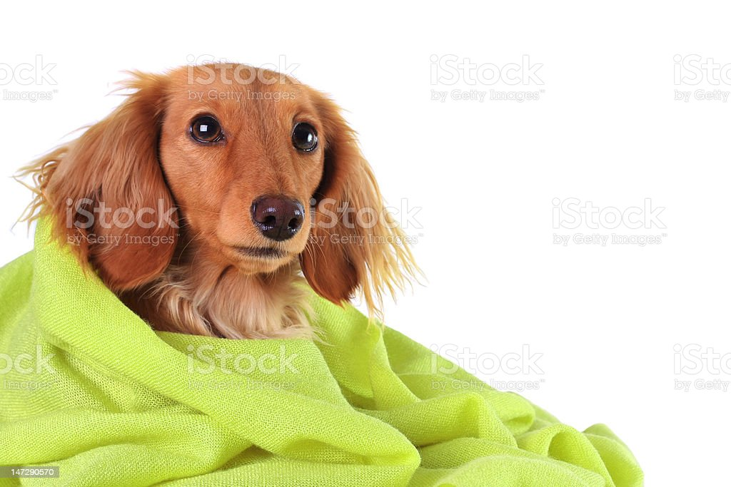 Green puppy royalty-free stock photo