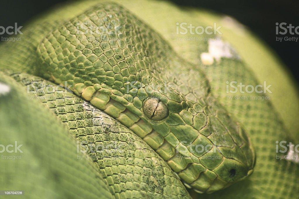 green python royalty-free stock photo