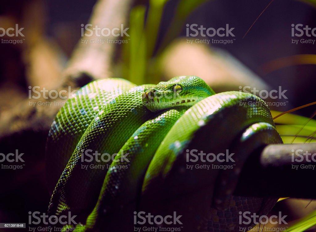 Green Python stock photo