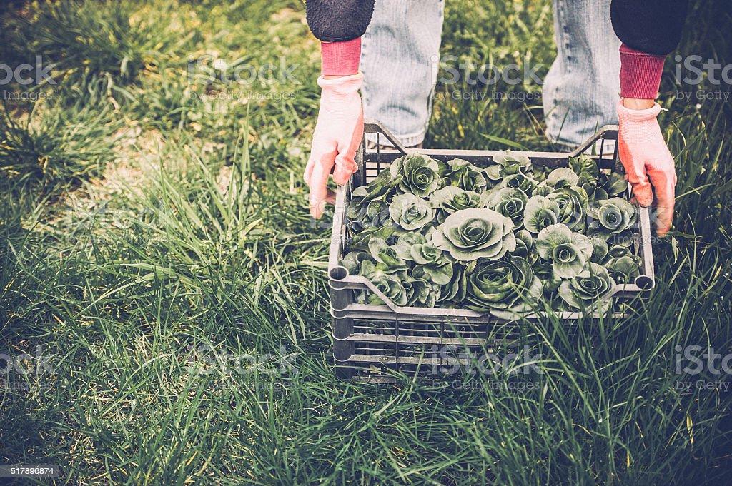 Green Radicchio Harvesting stock photo