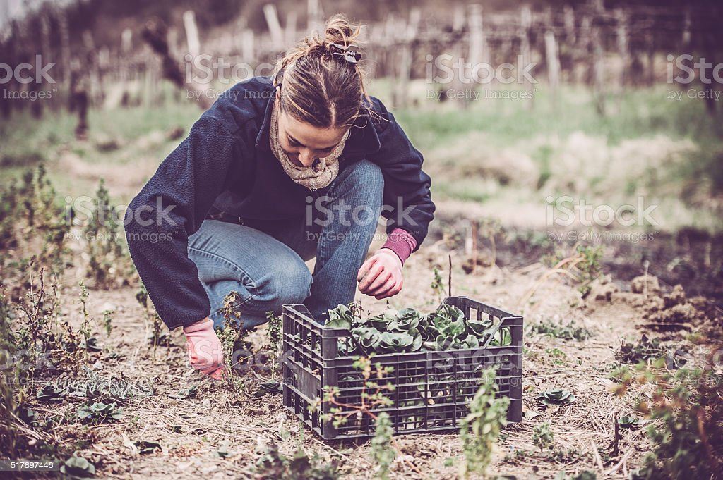 Green Radicchio Harvesting stock photo