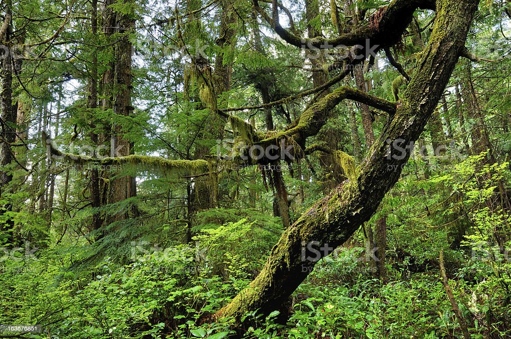 Green rainforest with old tree in Vancouver Island stock photo