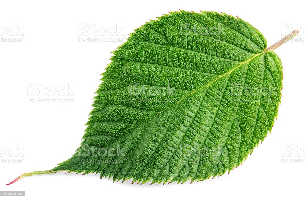 Green raspberry leaf isolated on white stock photo