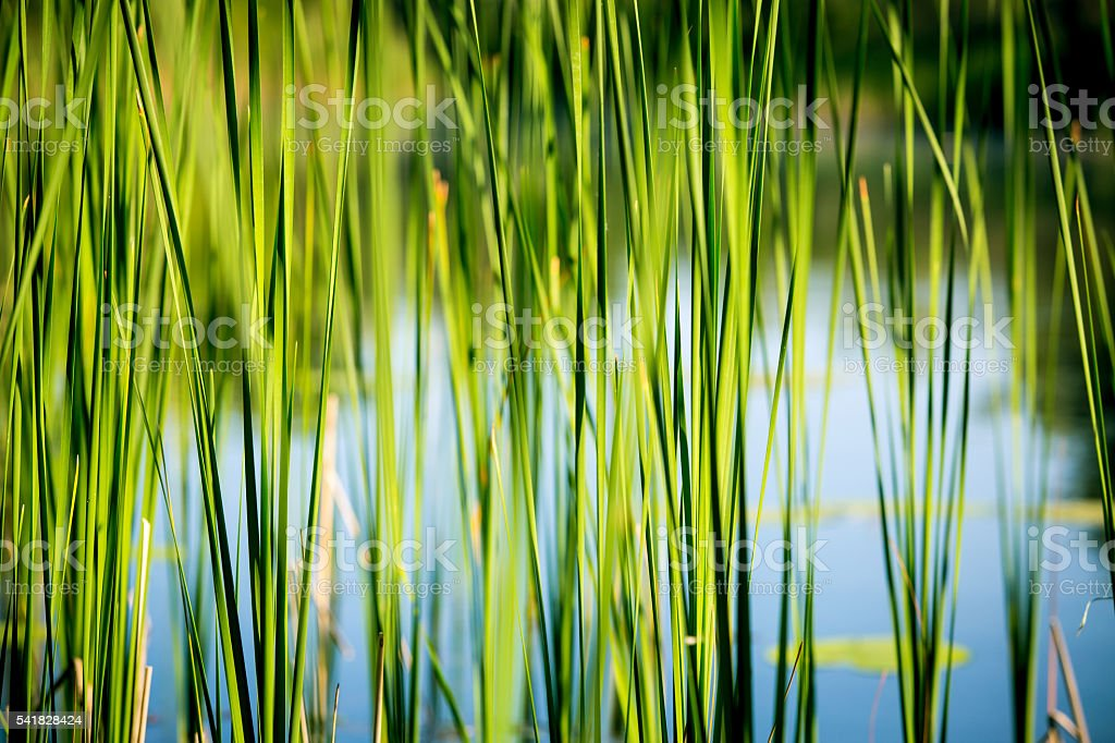 green reed abstract background stock photo