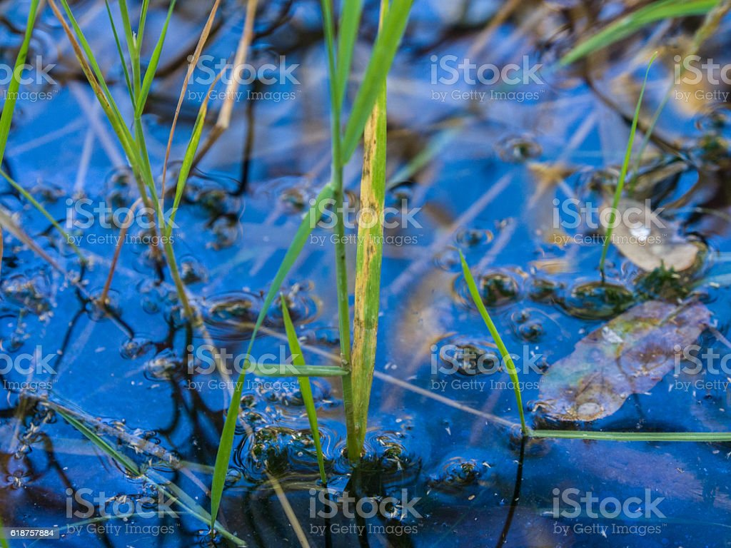 Green reeds and reflection in water stock photo